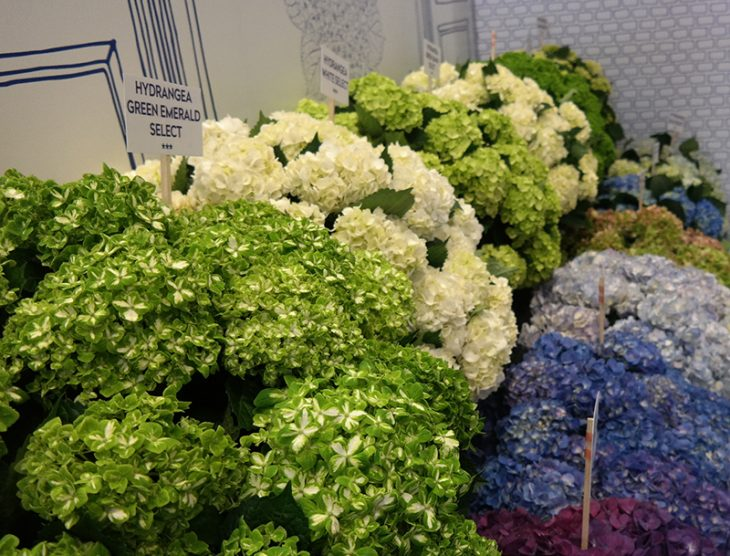 Hydrangeas big and bigger